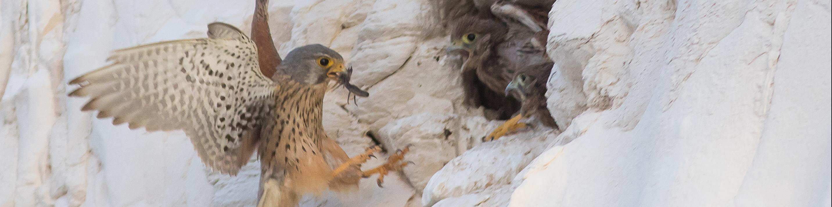 Lesser kestrel (Falco naumanni) bring food to his offsprings, Israel